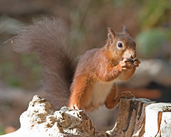 Red Squirrel (drbut) Tags: redsquirrel brownseaisland nationaltrust pooleharbour dorset