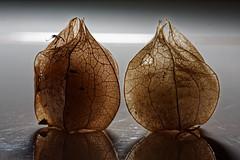 Physalis (the.flea) Tags: macromondays physalis backlit amourencage lanternejaponaise hzuki lanternechinoise groundcherries