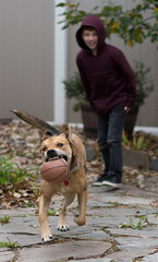 Roxy on the Run (billyhuckleberry) Tags: dog fetch running play