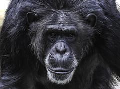 ape apes animalanimals portrait nature natural primate primates chimpanzee