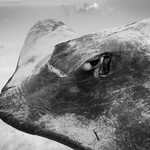 Portrait of a Stingray thumbnail