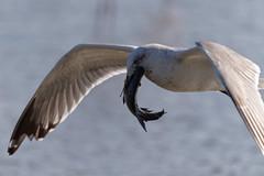 163A9012_DxO (Le Méhauté Sébastien) Tags: oiseaux camargue pont du gau