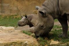 Nashorn (Christoph Kampf) Tags: animals nature wildlife zoo preserving bokeh light wild life alive nashorn big5 africa baby offspring newlife cute mother nikon d700 80200 nikond700