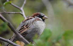 Sparrow (careth@2012) Tags: sparrow nature wildlife beak feathers