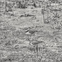 Instagram x3abrr  #goodmorning #_  #_  #goodevening # #birds #bird #instabird #  #_ #_ #Waterbird #Waterbirds  #waterfowl #instabirds #insyaanimals #instaanimal #animal #animals #hdr #sonyalpha  #saudiarabia  # (photography AbdullahAlSaeed) Tags: goodevening birds instabirds    animal hdr      waterfowl goodmorning waterbird  saudiarabia instaanimal   instabird bird sonyalpha sonya animals  insyaanimals waterbirds