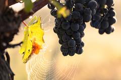 Spiderweb and grape in morning dew (Che Camera) Tags: 1dmarkiii bischoffingen dew dewdrops ef100lf28is gegenlicht grape kaiserstuhl makro tau tautropfen traube vineyard vogtsburg wein weinberg wine backlight