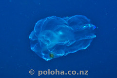 Alien jelly (Daniel Poloha) Tags: jelly plankton bloom translucent float blue water jellyfish pacific ocean temperate underwater undersea