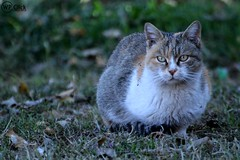 The Hungry Cat (watanpaal Photography) Tags: quetta balochistan pakistan watanpaal watanpaalphotography cat hungrycat catphotos catphotography animalphotography wiledphotography pakistaniphotographers pakistaniphotos baluchistan