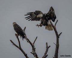 While simply trying to relax, every married man hates it when the little lady enters the picture with talons fully extended! (flintframer) Tags: bald eagles birds maryland wildlife pax river nas wild flight landing canon 7d markii ef100400mm