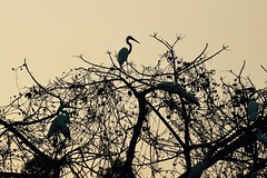 Above the Tangled Web (The Spirit of the World) Tags: abstract tangled jungle tropical egrets fowl wildlife nature habour cochin kochi india southernindia silhoulettes birds art canvas