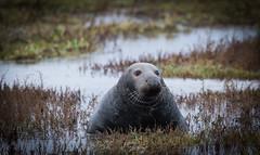seal (tsd17) Tags: greyseal donnanook lincolnshire wildlife trust water coast sigma150600 canon7dmk11