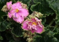 08-IMG_4720 (hemingwayfoto) Tags: berggartenhannover blhen blte blume flora floristik natur topfpflanze usambara usambaraveilchenyantanjushka veilchen zierpflanze zuchtform