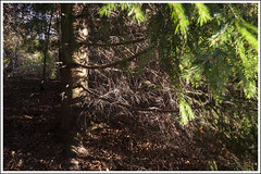 20161012. Vana-Vigala ohvrihiis. 1732 (Tiina Gill (busy)) Tags: estonia raplamaa vanavigala fall autumn outdoor nature tree fir