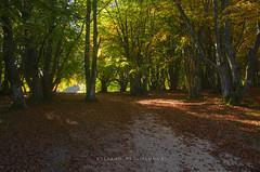 _DSC7468 (stefano.paglialunga1) Tags: provinciamacerata faggeta canfaito nikond7000 natura nikon bosco allaperto autunno foglie fogliedautunno