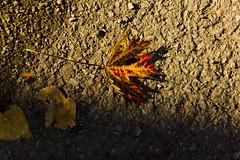 Setting Sun (rumimume) Tags: potd rumimume 2016 niagara ontario canada photo canon 550d t2i sigma fall autumn outdoor leaf leaves red yellow concrete