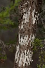 Natural coloring of Ashe Juniper (MikeInOwasso) Tags: ashe juniper white stripe bark colorado bend state park texas peeling natural nature tree green nikon d70 dslr