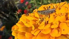Grasshopper on Bright yellow Zinnia (Mila Araujo @Milaspage) Tags: istock insects organicgarden redleggrasshopper details macro closeup beautyinnature beauty nature zinnia bright yellow grasshopper
