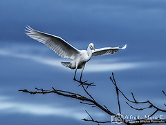 Aterrizaje de precisin, garceta grande o garza blanca ( Egretta alba). (Esmerejon) Tags: aterrizajedeprecisingarcetagrandeogarcetablancaegrettaalbarealizadaenelropisuergaasupasoporsimancas 412 2016 aves naturaleza precisin aterrizajes dealgunasaves levedad