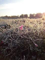 Sedum im Frost (NIRA GmbH) Tags: sedum frost winter greenroof gründach