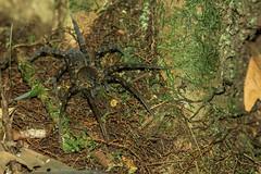 Ancylometes bogotensis ♀ (M@rcassin) Tags: spider araignée arachnide insecte bug amazonia amazonie amazonieéquatorienne ecuador equateur animal animaux wild wildlife nature nikon nikond750 nikkor nikon105vr herpetologie herpetology jungle cuyabeno ancylometesbogotensis ancylometes