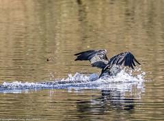 9Q6A9038 (2) (Alinbidford) Tags: alinbidford alancurtis brandonmarsh goldeneye cormorant greyheron heron shoveler greatcrestedgrebe kestrel shelduck wildfowl