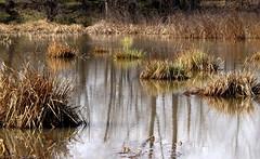 Reflection in Hell Pond (andraszambo) Tags: reflection tükörkép intermittent pond lake see időszakos ezüst silver zsombék tussock hungary magyarország water víz wasser hell pokol hölle
