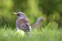 _MG_2109_web (Erik Koffmar) Tags: fieldfare outdoor wildlife nature avian birds bokeh bird green spring sunshine canonef400mm koffmar uppsala norby sweden