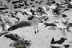 Gulls (1) (margaretpaul) Tags: birds seabirds gulls silvergull