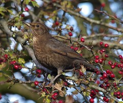 thrush on red berrys (3) (Simon Dell Photography) Tags: thrush mistle bird nature detaile macro close up sunlight red berrys festive image photo castleton derbyshire peak district uk britain country side valley hope national park high 2016 simon dell photography sheffield england views old new pics pictures winter autumn