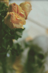 love dead* (Wolf's kurai) Tags: wolfskurai canon photography stilllife vanitas roses death love skul languageofflowers