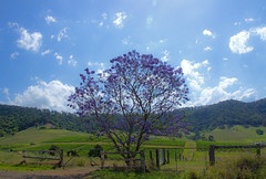 Rural bliss (Jutta Sund) Tags: australia jacaranda vineyard clouds blue purple rural farm fence scenery landscape countryside sunny