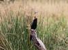 African Darter (Laura Erickson) Tags: africa anhingidae murchisonfallsnationalpark uganda pelecaniformes africandarter birds boatridetothebottomofthefalls places species anhingarufa