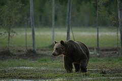 Ours brun (Samuel Raison) Tags: ours bear oursbrun brownbear wildlife wild finlande finland animal nature nikon nikond3 nikon4200400mmafsgvr