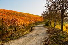 . (bluestardrop - Andrea Mucelli) Tags: langhe autunno autumn fall piemonte piedmont viti vine grapevine