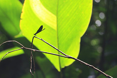 Dragonfly (Fabien GOUBY) Tags: jungle srilanka forest rainforest srilankanrainforest deniyaya plants plant nature animal wild wildlife wildness tropical tropicalforest tropicalanimal rawnature wildanimal green outdoor dragonfly silhouette insect insects wings branch fly flying sunlight