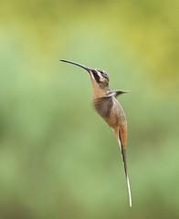 Planalto Hermit (andy w taylor) Tags: hummingbird hermit planalto brazil