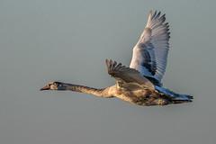 Juvenile Mute Swan in flight (Rivertay07 - thanks for over 4 million views) Tags: swan muteswan cygnusolor brightlingsea essex rivertay richardstead copyrightprotected