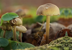im Sauerklee (Oly User) Tags: pilze natur november 2016 focus stacking makro olympus omdem5markii 60mmf28macro thomasmeinersmann