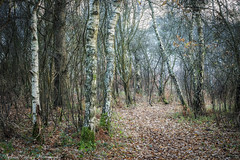 Heyshott Birches (Chalky666) Tags: tree trees wood woodland common footpath autumn silverbirch southdowns westsussex painterly art landscape