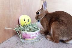 Ichigo san 491 (mensore) Tags:  rabbit bunny netherlanddwarf brown ichigo