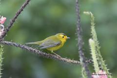 Wilson's Warbler (Cardellina pusilla) (Gmo_CR) Tags: cardellinapusilla wilsonswarbler reinitagorrinegra curruquita coronado costarica patiodeagua macho male