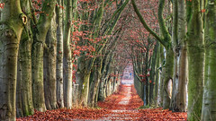 Red avenue (RainerSchuetz) Tags: foliage trees avenue beech serene