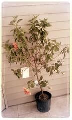 Ibisco (Sole & Luna) Tags: fiori albero vaso pianta secco ibisco povero cespuglio alberello striminzito