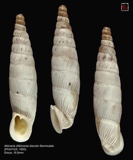 albinaria (albinaria) discolor flammulata grece 16mm9