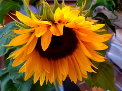 Wishing you a sunny Sunday! (peggyhr) Tags: friends canada vancouver bc sunflower thegalaxy 50faves peggyhr level1photographyforrecreation img7162a thelooklevel1red thelooklevel2yellow thelooklevel3orange thelooklevel4purple frameit~level01~ rainbowofnaturelevel1red l~1passionforflowers mothernature super~sixbronzestage1