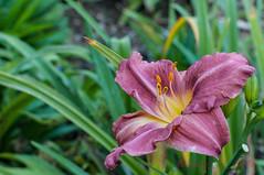 Hmrocalle (Hemerocallis) (Guy_D_2010) Tags: flower flor blumen blomma quintaflower bunga  blume fiore blomst gul virg hoa bloem lill blm iek  kwiat blodyn   lule kukka d90   cvijet  blth cvet  zieds  gl kvtina kvetina floare  chaumontsurloire languageofflowers   fjura    voninkazo