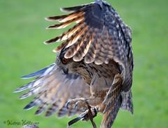 im Anflug (katrinhflinger) Tags: 2005 nikon outdoor vogel uhu bubo könig eule mäuse jäger greifvogel anflug nachtaktiv fleischfresser standvogel weltgröste