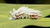 Greatness in the Making (John Horstman (itchydogimages, SINOBUG)) Tags: insect macro china yunnan itchydogimages sinobug moth lepidoptera caterpillar larva saturniidae atlas topf25 top red white entomology attacus attacusatlas