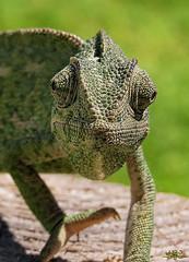 Un amigo verde, camaleón común en Rota... (Lola Cortés Neva) Tags: macroengeneral unamigoverde camaleóncomúnenrotalolacortésnevalolacortésneva
