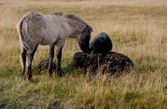 Laugarvatnsvllum (oeiriks) Tags: autumn horse grass animal iceland oeiriks sonyalpha350 laugarvatnsvellir